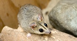 The Endangered Julia Creek dunnart (<em>Sminthopsis douglasi</em>). (Credit: AAP image)