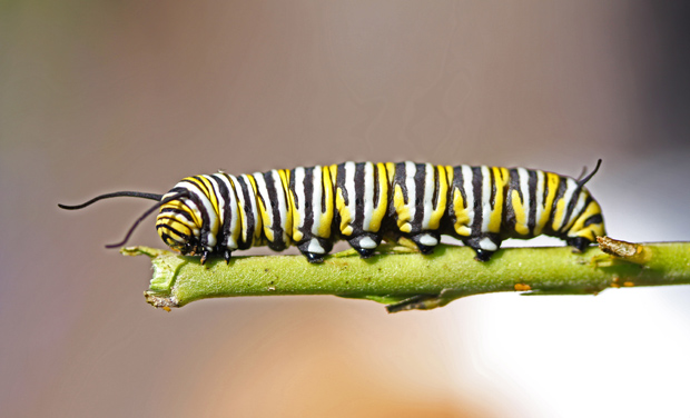 Reader photo: caterpillar - Australian Geographic