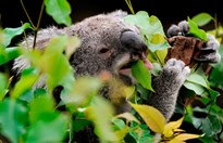 A koala chows down on gum leaves at Wild Life Sydney. (Credit: AFP/Getty)