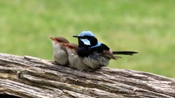 Father fairy-wren and two kids. (Credit: Alison O'Halloran)