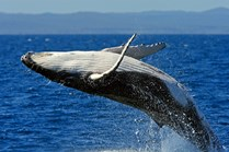 A humpback whale breaches in the waters of northern New South Wales. (Credit: Getty Images)