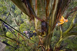 Conservationists study the 76m mountain ash 'Ada', found just outside Healesville, VIC. (Credit: Bill Hatcher)