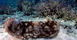 A sea cucumber creeps past healthy coral. (Credit: Getty)
