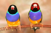 Gouldian finches (both males here) have remarkable colouration. (Credit: AAP/Macquarie University)