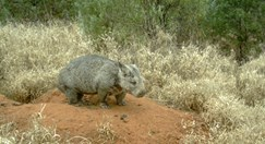 A northern hairy-nosed wombat outside her burrow. (Pictures courtesy of the Department of Environment and Resource Management)