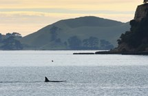 An orca in St Heliers Bay, Auckland. New Zealand orcas are the only known group that regularly eat stingrays. (Credit: Getty)