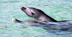 Newborn dolphin Piper swims with mother Piccolo at Monkey Mia, Western Australia. (Credit: AAP Image/Ewa Krzyszczyk)