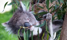 Koalas are almost in plague proportion at Cape Otway, having been reintroduced here about 30 years ago. (Credit: Carolyn Barry)