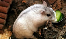 Siberian hamsters (<em>Phodopus sungorus</em>) slow down ageing when they hibernate. (Credit: Wikimedia)
