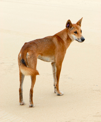 The Dingo Came To Australia From Southern China