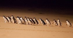 Little or fairy penguins are the smallest of the world's 17 species. (Credit: Phillip Island Nature Parks).