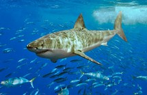 A great white shark at Isla Guadalupe, Mexico. (Credit: Wikipedia/Pterantula)