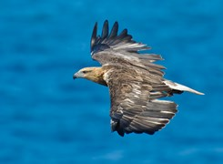 White-bellied sea eagle. (c) Michael Nau.