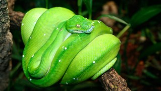 Native green tree pythons (<em>Morelia viridis</em>) can sell fo r$2000-10,000 on the black market. (Credit: Wikimedia)