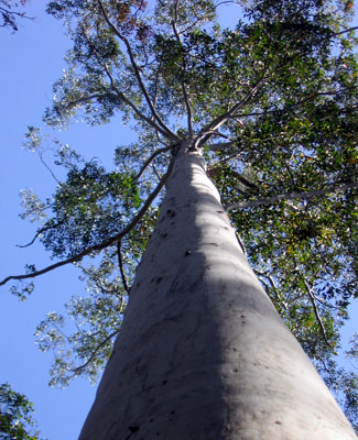 Eucalyptus dna blueprint revealed australian geographic the flooded gum grows to heights of 75m credit merv shepherd malvernweather Image collections