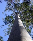 The flooded gum grows to heights of 75m. (Credit: Merv Shepherd)