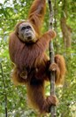 Palm oil production poses a significant threat to deforestation of Sumatran orangutan habitat. (Credit:Carolyn Barry)