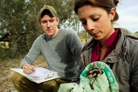Melbourne University's Kylie Soanes and Will Sowersby, tag a squirrel glider near Kyeamba, NSW. (Credit: Esther Beaton)