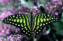 The green-spotted triangle butterfly is one species documented in the Atlas of Living Australia. (Credit: CSIRO)