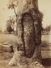 A carved tree photographed near Dubbo, NSW (Photograph by Henry King)