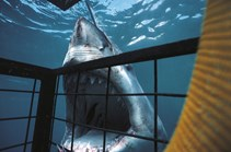 Great white sharks are attracted to music from AC/DC. (Credit: Getty Images)
