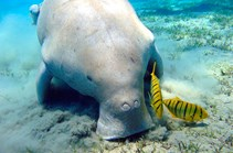 Dugongs have been resilient in recovering from the Queensland flood events. (Credit: Getty Images)