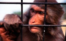 Monkeys, and especially great apes, are the most likely to escape from zoo enclosures. (Credit: Getty Images)