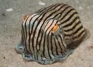 A striped pyjama squid (<em>Sepioloidea lineolata </em>) in the waters of Jervis Bay, NSW. (Credit: Tony Brown)