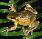 The bleating tree frog (<em>Litoria dentata</em>) was recently discovered in Victoria. (Credit: GA Hoye ©Australian Museum)