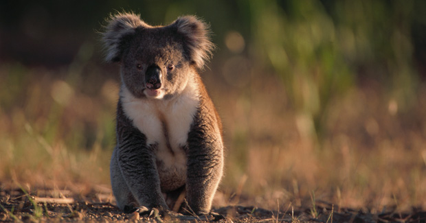 Koalas to feel the heat with climate change