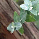 The silver gum, <em>Eucalyptus crenulata</em>, was almost extinct until the Black Saturday fires. (Credit: Wikimedia)