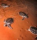Flat-back turtle hatchlings. (Credit: Untamed Outback Images)
