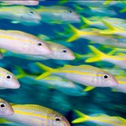 Yellow goatfish. New research shows that schools of fish come up with better choices than individuals. (Photo: Getty).