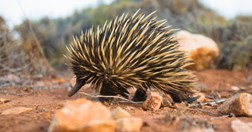 A short-beaked echidna at Cape Range National Park, WA (Photo: Getty/Bob Stefko).