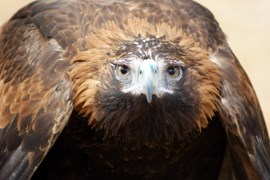Wedge-tailed eagle, by AG reader Erika Karlsson