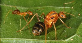 The yellow crazy ant (<em>Anoplolepis gracilipes</em>), one of the world's worst invasive ant species (Photo: Phil Lester)