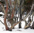 Snow gums in Kosciuszko National Park (Photo: Carolyn Barry).