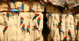 Macaws eat the nutrient-rich dirt of Manu Wildlife park in the Amazon. (Photo: Nick Pattinson)