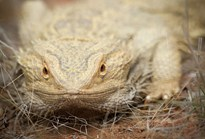 Inland Bearded Dragon. Canon 1D Mk4, EF300 f2.8L IS lens (Photo: Nick Rains)