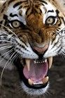 A Bengal tiger bares its teeth. Tigers have been found living at high altitude in Bhutan (Photo: AFP photo/Luis Robayo).