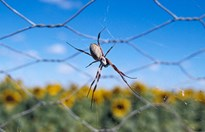 An orb spider hangs from a web on a wire fence near a sunflower field in Emerald, Queensland (Jason Edwards).
