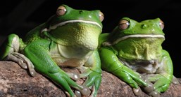 These green tree frogs area among the oldest amphibians in the world. (Photo: Brian Cassey)
