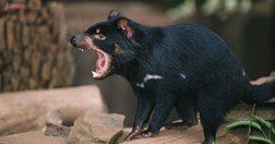 The Tasmanian devil has seen an 80% decline in population since the mid-1990s (Photolink/Getty).