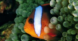 Marine animals, like this clown fish, have a better chance of surviving predators in bigger reefs. (Photo: Mick McCoy)