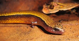 The Australian three-toed skink gives clues to why cells turn cancerous. (Photo: Nadav Pezaro)