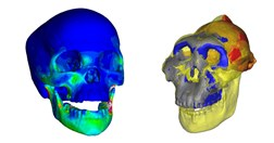These images of a human and early human (<i>Paranthropus boisei</i>) skulls allowed scientists to compare bite forces.