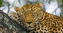 A jaguar sleeps 10  hours a day, but its brain still processes the need for sleep in the same way humans do. (Keren Su/Getty)