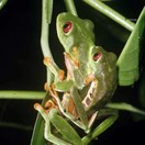 Central American red-eyed tree frogs use vibration to help them secure mates. (Photo: Greg Johnston)