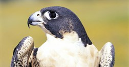 A Peregrine falcon is one of many species now further protected by the creation of the Witchelina Reserve. (Photo: Simon Carter)
