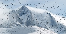 Flock of choughs wheels near Everest (Photo: Ian Connellan)
